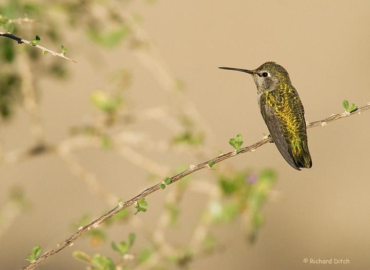 Anna's Hummingbird with background habitat