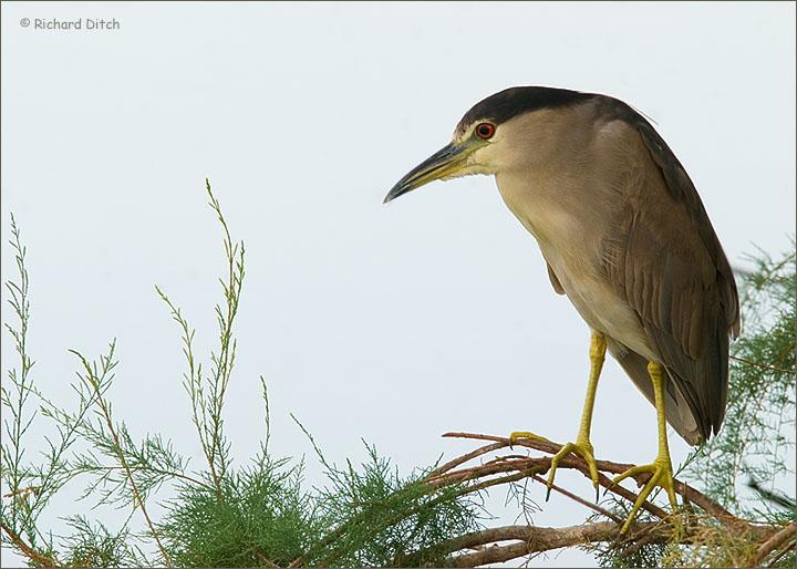 Black-crowned Night-Heron 278