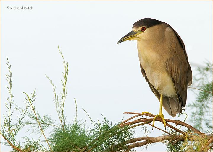 Black-crowned Night-Heron 284