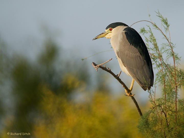 Black-crowned Night-Heron horizontal
