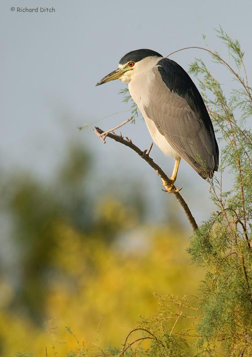 Black-crowned Night-Heron vertical