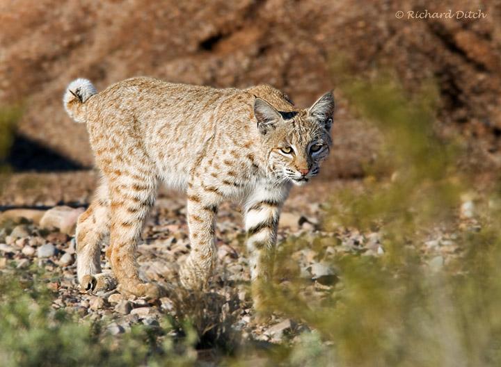 Bobcat at Kearny Lake, Kearny, AZ