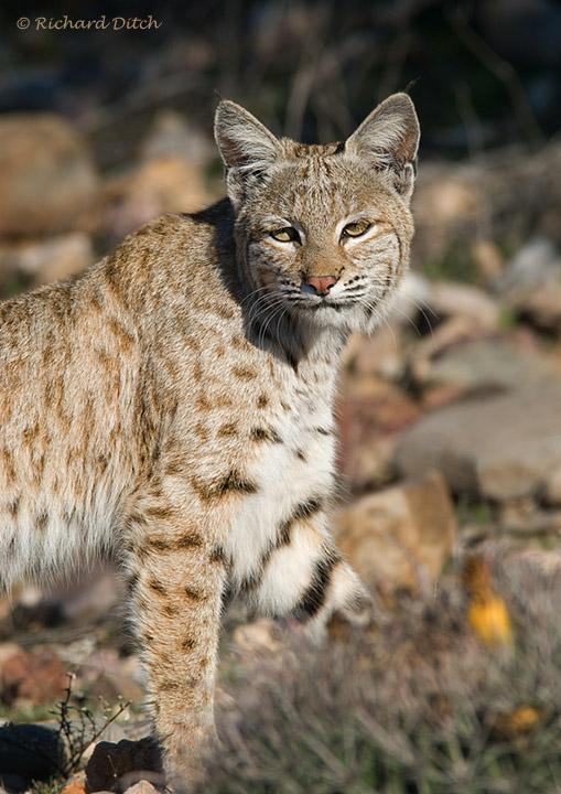 Bobcat, Kearny, AZ