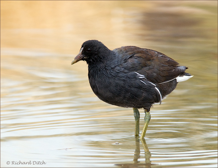 Common Moorhen at Kearny Lake