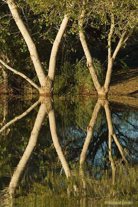 Crossed Cottonwoods - Gilbert Water Ranch