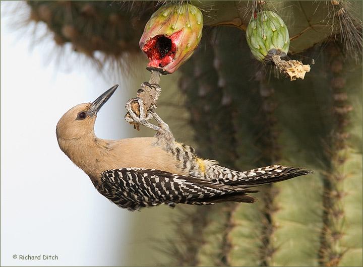 Gila Woodpecker on Saguaro fruit