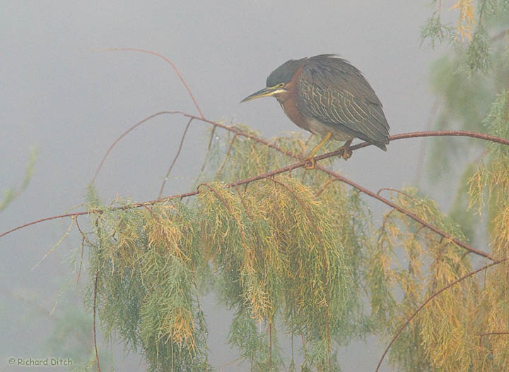 Green Heron on a foggy day