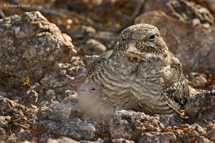 Lesser Nighthawk with chick