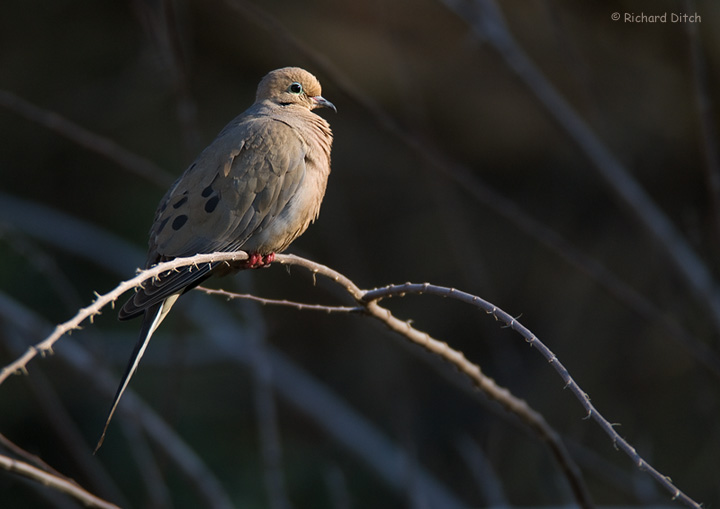 Mourning Dove - Rio Salado, Phoenix, AZ