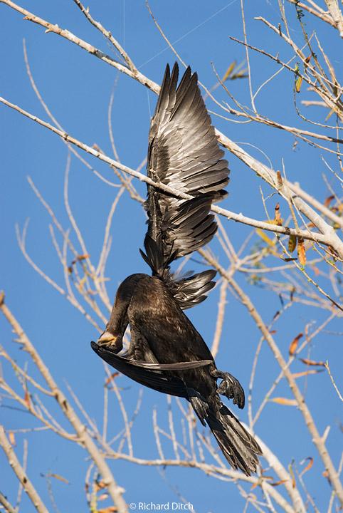 Neotropic Cormorant and fishing line
