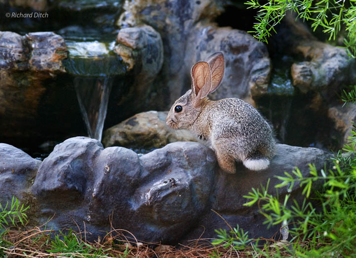 Backyard rabbit at water feature