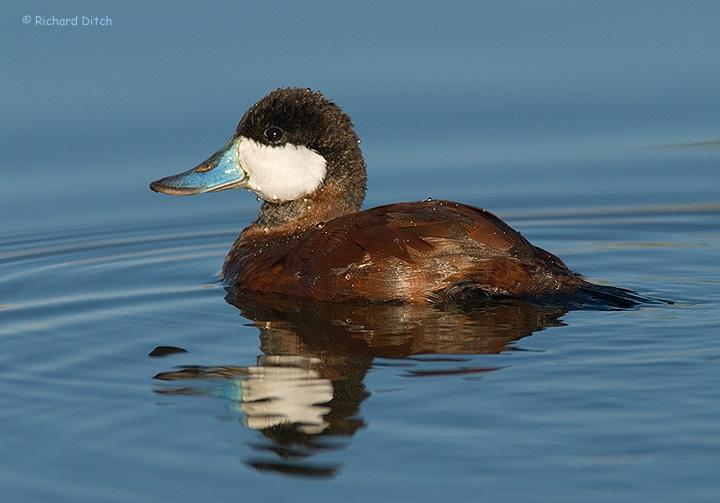 Ruddy Duck profile