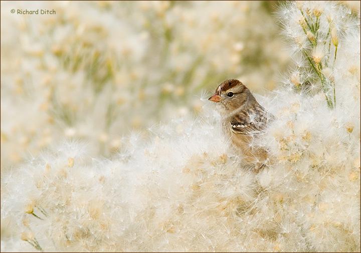 White-crowned Sparrow in Desert Broom