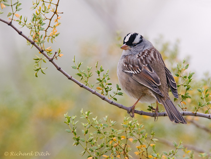 White-crowned Sparrow in morning haze