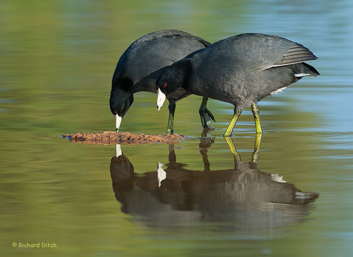 American Coots, Gilbert Water Ranch