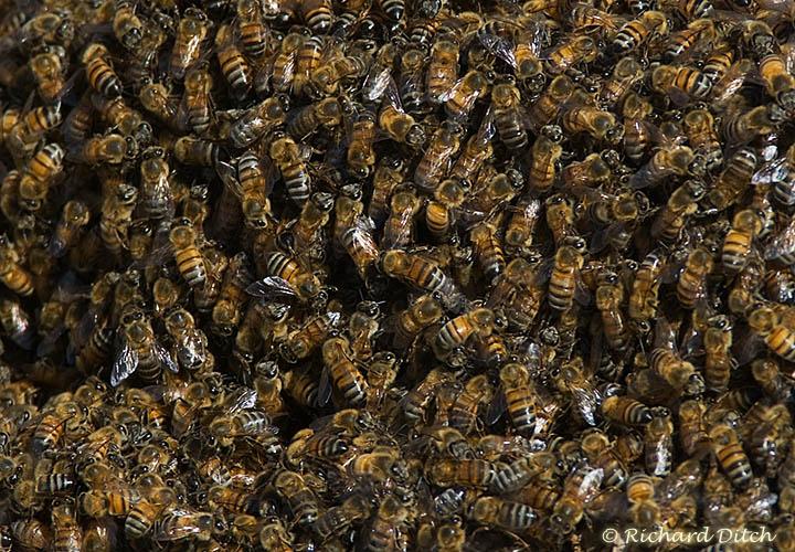 Bee Swarm at Gilbert Water Ranch