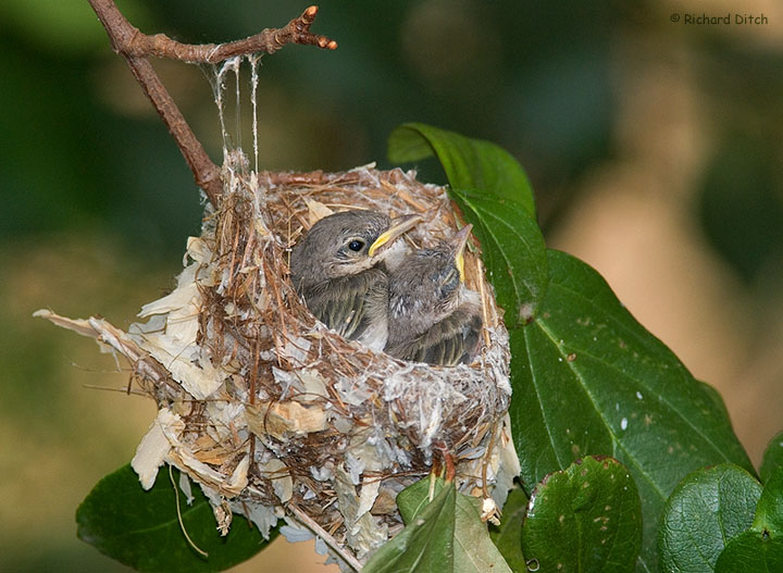 Bell's Vireo nest exposed by pruning
