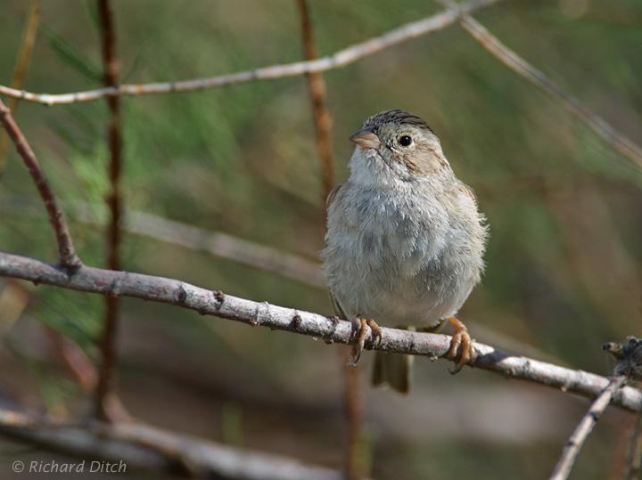 Brewer's Sparrow in habitat
