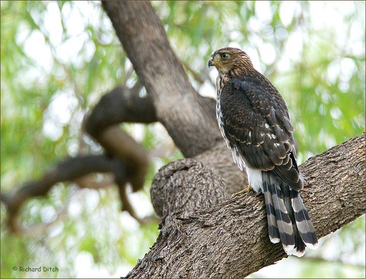 Cooper's Hawk, Boyce Thompson Arboretum