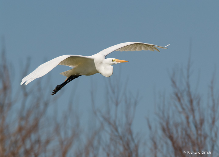 Great Egret in flight, afternoon