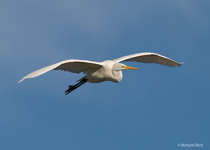 Great Egret in flight, morning