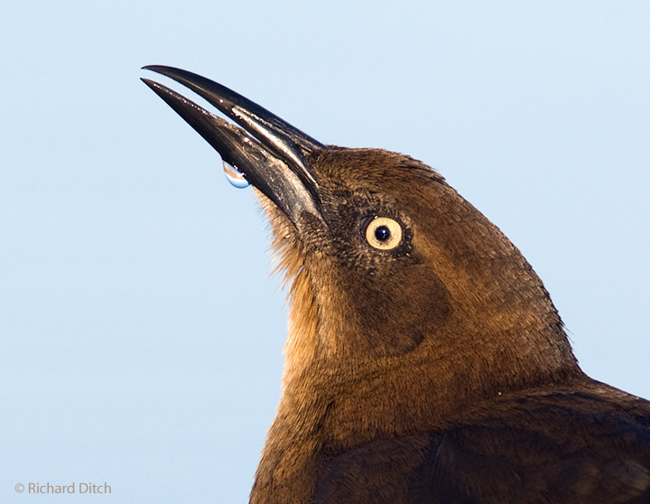 Great-tailed Grackle head crop