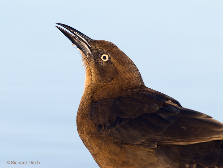Great-tailed Grackle awkward composition