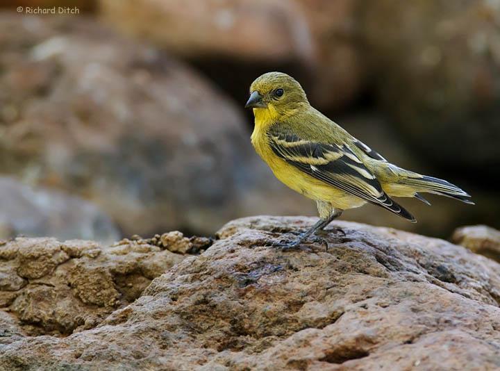 Lesser Goldfinch at Boyce Thompson Arboretum
