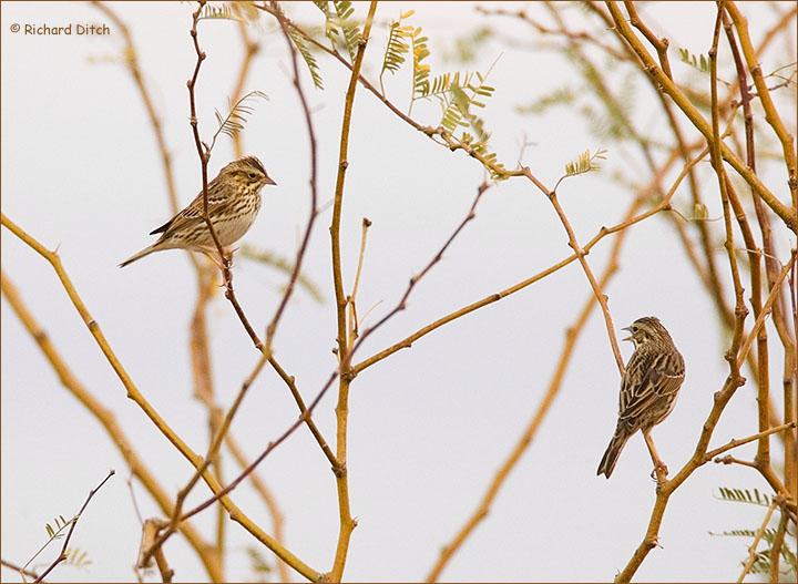 Savannah Sparrows, Gilbert Water Ranch