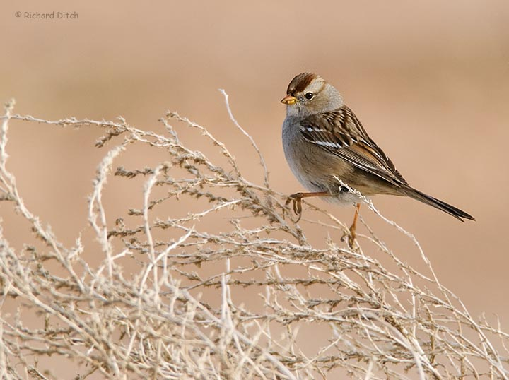 White-crowned Sparrow from mobile blind