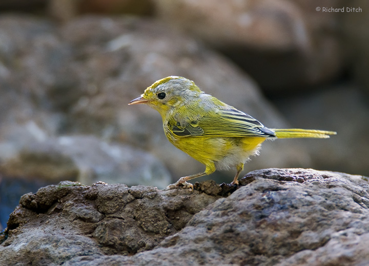 Yellow Warbler at Boyce Thompson Arboretum