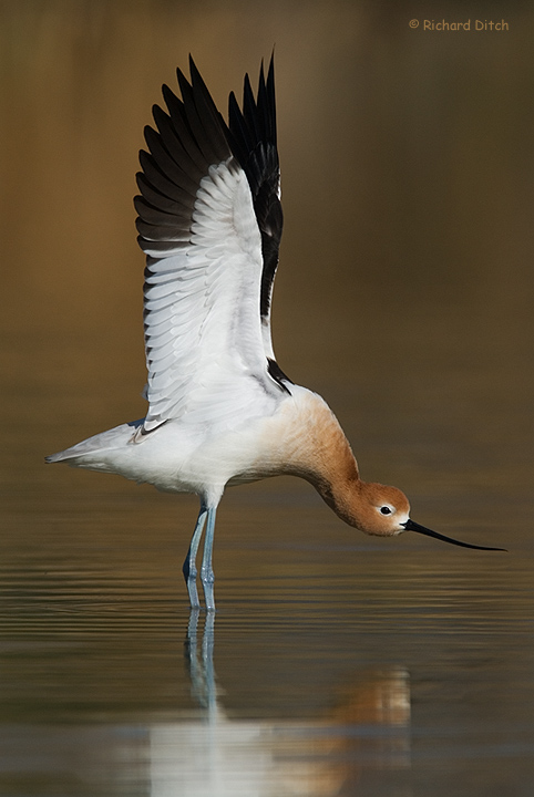 American Avocet display
