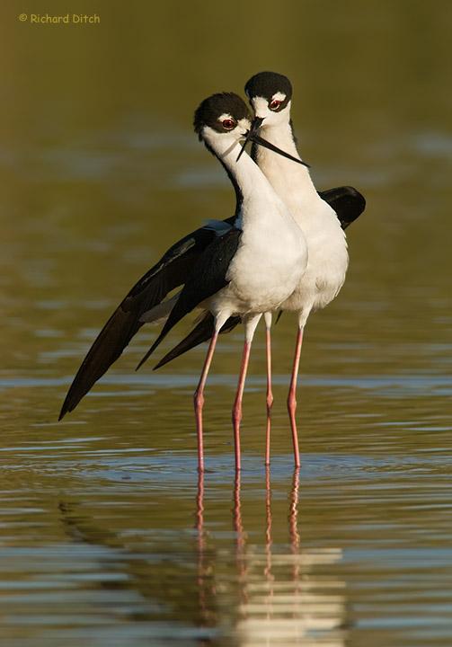 Black-necked Silt Mating Dance