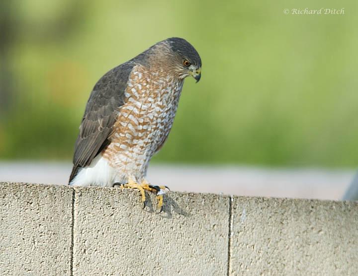 Cooper's Hawk in the yard