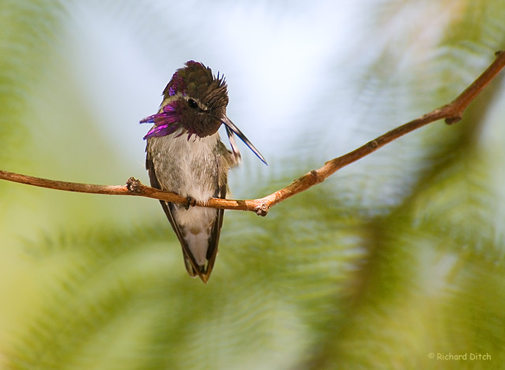Costa's Hummingbird grooming