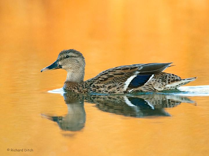 Mallard on golden water