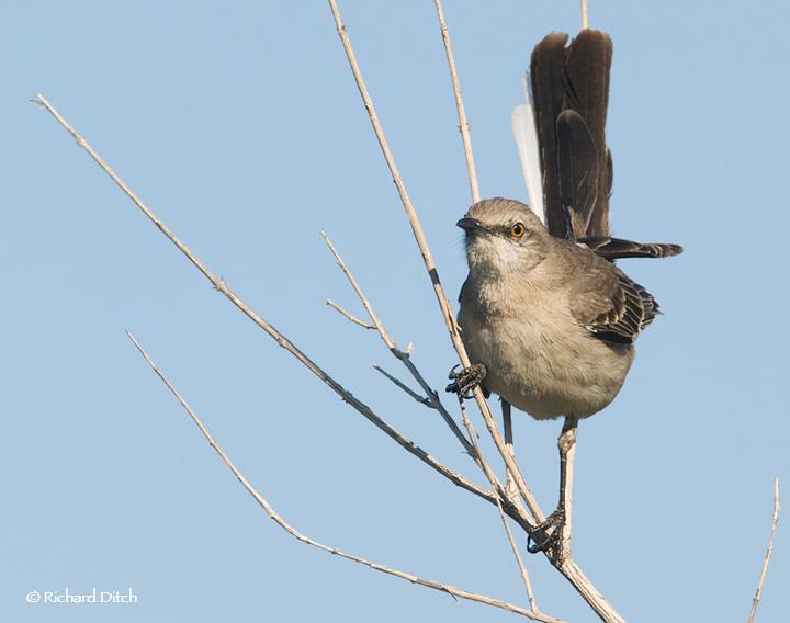 Northern Mockingbird at Gilbert Water Ranch