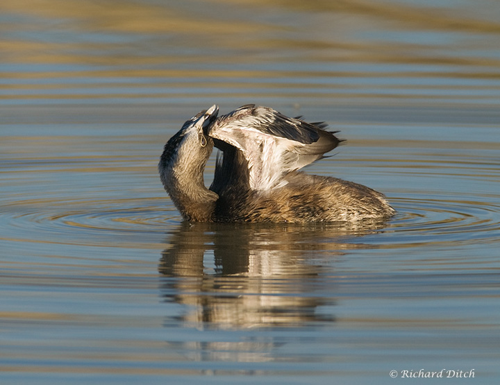 Pied-billed Grebe display