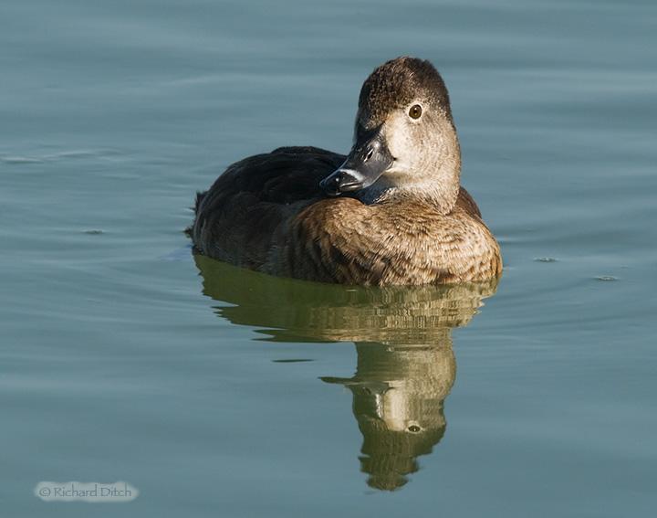 Ring-necked Duck female