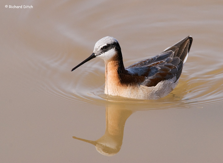Wilson's Phalarope swimming