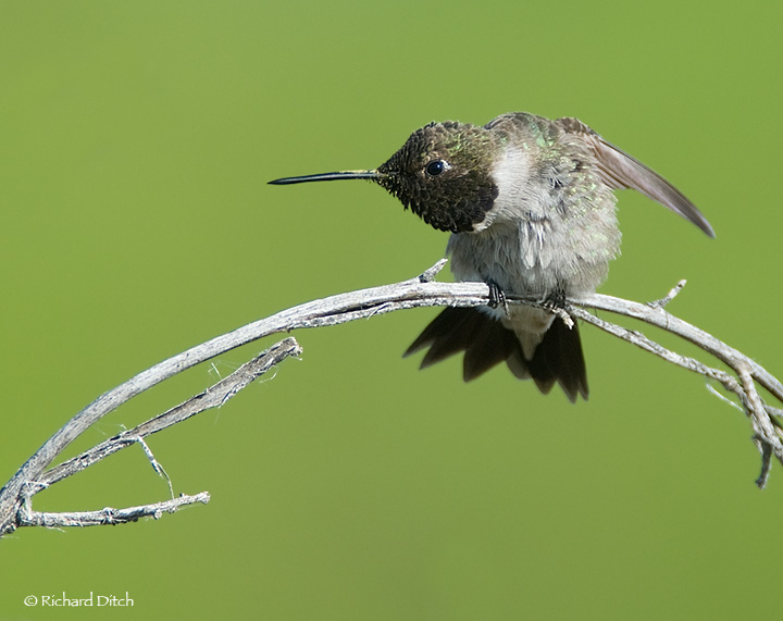 Black-chinned Hummingbird with pollen on bill