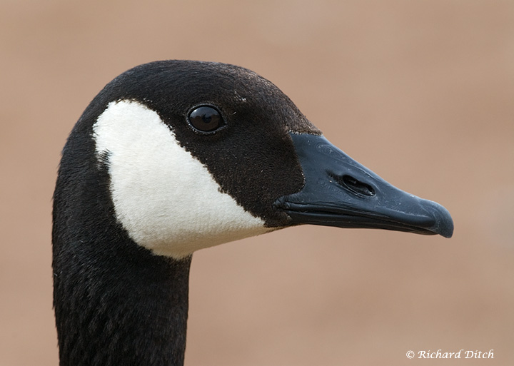 Canada Goose, brown background