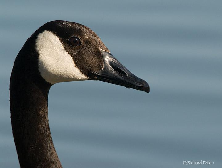 Canada Goose, blue background