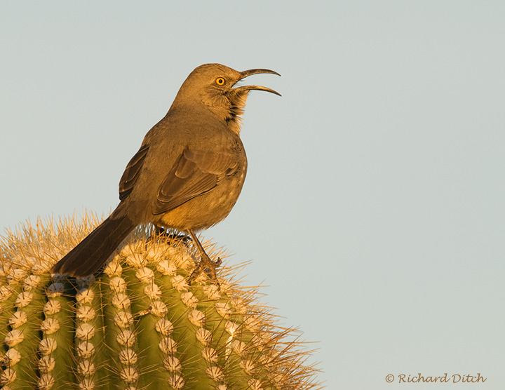 Curve-billed Thrasher on Saguaro