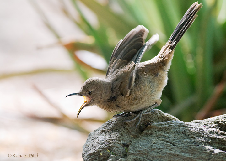 Curve-billed Thrasher - young bird begging for food