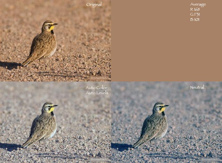 Horned Lark - color comparison