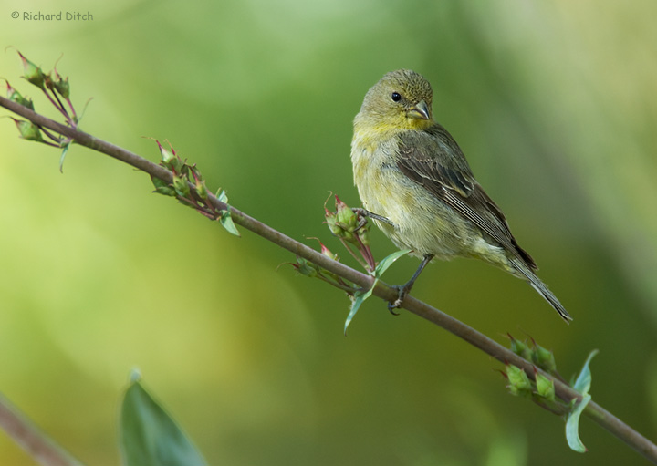 Lesser Goldfinch, Boyce Thompson Arboretum