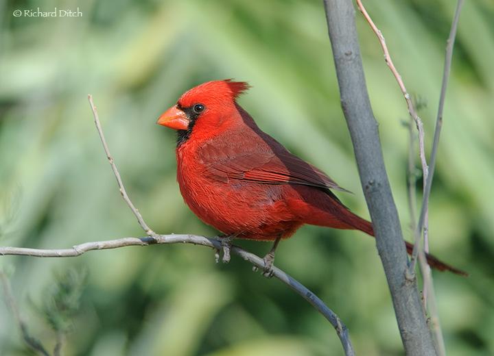 Northern Cardinal - Boyce Thompson Arboretum