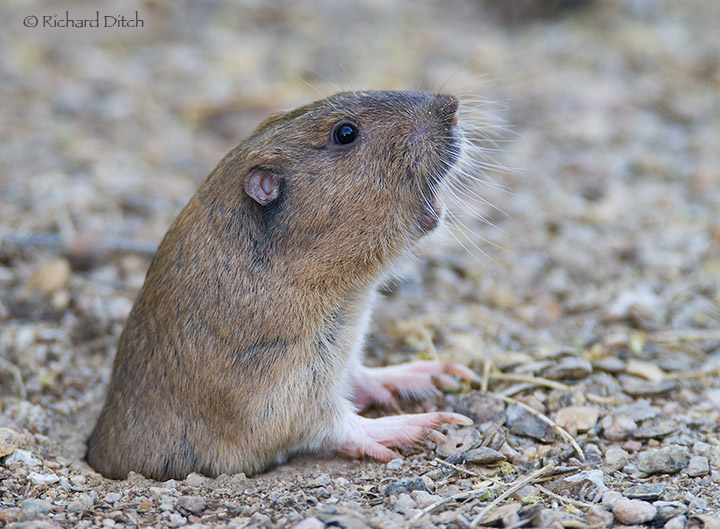Pocket Gopher partially emerged