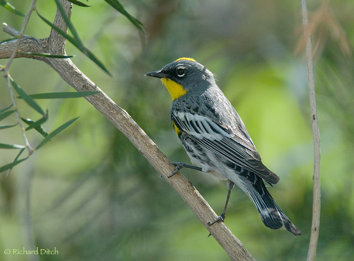 Yellow-rumped Warbler at Boyce Thompson Arboretum